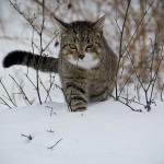Auf dem Bild ist eine grau gestreifte Katze im Schnee zu sehen